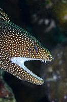 White-mouthed Moray Eel (Gymnothorax meleagris), Ulami dive site, Seraya, Karangasem, Bali, Indonesia, Indian Ocean.