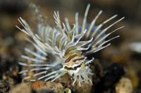 Juvenile Spotfin Lionfish (Pterois antennata), Segara dive site, Seraya, Karangasem, Bali, Indonesia, Indian Ocean.