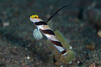 Black-rayed Shrimpgoby) with erect fin, River dive site, Tulamben, Karangasem, Bali, Indonesia, Indian Ocean.
