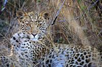 Leopard (Panthera pardus) juvenile (cub) with the most beautiful eyes. Central Kalahari. Botswana.