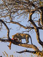 Awesome leopard (Panthera pardus) in a tree with its Impala {Aepyceros melampus} kill. Mpumalanga. South Africa.