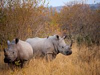 White rhinoceros or square-lipped rhinoceros or rhino (Ceratotherium simum). Mpumalanga. South Africa.