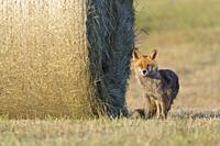 Red fox (Vulpes vulpes) near hay ball, Summer, Hesse, Germany, Europe.