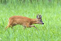 Western roe deer (Capreolus capreolus) in summer, Germany, Europe.