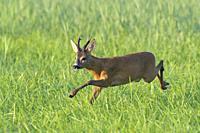 Western Roe Deer (Capreolus capreolus), Roebuck, Summer, Hesse, Germany, Europe.