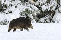 Wild boar (Sus scrofa) in wintertime, Tusker, Germany, Europe.