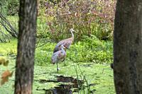 Milford, Michigan - Sandhill cranes (Antigone canadensis) in a marsh at Kensington Metropark.