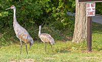 Milford, Michigan - A sign urges visitors not to feed the Sandhill cranes (Antigone canadensis) at Kensington Metropark.