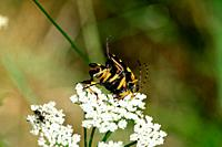 Spotted Longhorn Beetle, Stranglia macuilata, Cerambycidae, copulation, insect, animal, Wergenstein, Schamserberg, Nature Park Beverin, Alps, Canton o...
