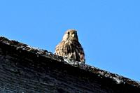 Common Kestrel, Faclo tinunnculus, Falconidade freshly fledged, bird of prey, on barn roof, Wilchingen, Klettgau, Canton of Schaffhausen, Switzerland
