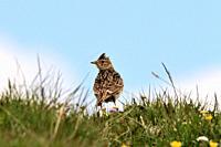 Eurasian Skylark, Alauda arvensis, Alaudidae, bird, animal, Alp Curtginatsch, Wergenstein, Nature Park Beverin, Alps, Canton Graubünden, Switzerland