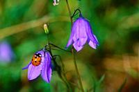 Seven-spot Ladybird, Coccinella septempunctata, Coccinellidae, beetle, insect, animal, on bellflower, Switzerland