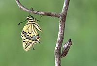 Freshly hatched Old World swallowtail butterfly (Papilio machaon) besides its empty pupa shell, Switzerland.