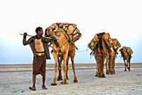 Afar herder with dromedary caravan transporting rock salt across the Assale salt lake to the market, near Hamadela, Danakil Depression, Afar Region, E...