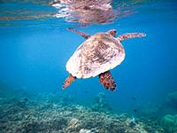 sea turtle on the Maldivian coral reef that swims among placid and peaceful plankton looking for food.