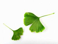 Ginkgo Biloba Leaf Against White Background.