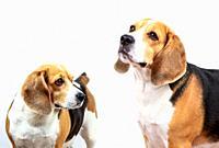 Beagle dog against white background.