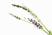 Close-Up Of Lavender Flower Against White Background.