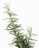 Fresh Rosemary Herb On White Background.