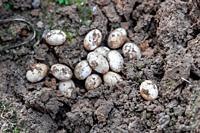 Closeup of Common Watersnake Eggs in the garden soil.