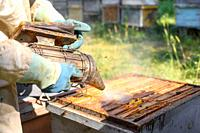 Beekeeper on apiary. Beekeeper is working with bees and beehives on the apiary. Close-up view of. High quality image.