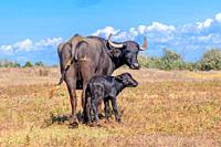 First day of life of a newborn calf Water Buffalo (Bubalis murrensis). Orlovka village, Reni raion, Odessa oblast, Ukraine.