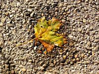 autumnal colored maple leaf on a street in a small water pool.