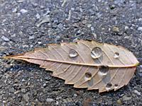 autumnal colored beech leaf on a street with rain drops.