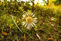 dwarf carline thistle in autumn in Germany.