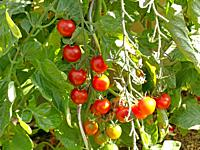 tomato plant with ripe and unripe fruits.