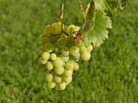 white grapes at a grapevine in autumn.