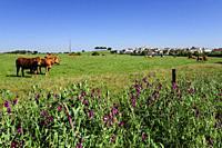 manada de vacas,Azaruja, Evoramonte ( concejo de Estremoz), Alentejo, Portugal, europa.