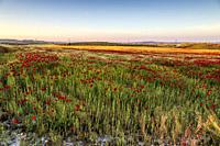 Poppies among the field of wheat in Pinto. Madrid. Spain. Europe.