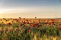 Red poppies among the field of wheat in Pinto, early in the morning. Madrid. Spain. Europe.