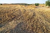 Olive trews and stubble in the summer. Pinto. Madrid. Spain. Europe.