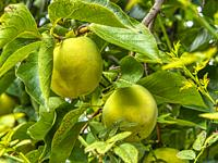 two green apples on a tree, botanical garden, Padua, Venito, Italy.