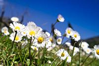 Spring view of the small flowers of wild daisies in a field.