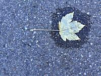 autumnal colored leaf on a street in a small water pool.