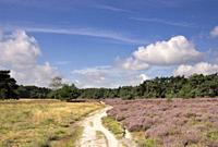 Flowering heathland in the nature reserve Wolfheze near the Dutch village Renkum.