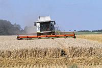 harvesting wheat, rye, combine harvester.