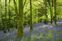 Bluebells in spring in a beech woodland in the Mendip Hills at Fuller's Hay near Blagdon, North Somerset, England.