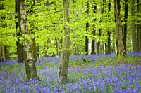 Blurry bluebells and leaves in a windy beech woodland in the Mendip Hills at Fuller's Hay near Blagdon, North Somerset, England.