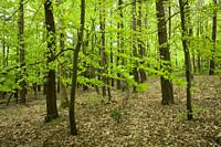 New lush growth on beech trees in spring in a broadleaf woodland at Goblin Combe, North Somerset, England.