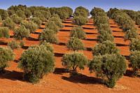 Olive trees near to Elvas, Alentejo, Portugal.