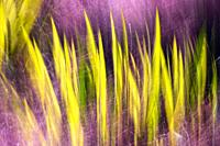 Creative blur image of Color Guard Yucca plants captured through colorful Muhly Grass - Asheville, North Carolina, USA.