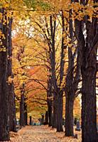 Autumn Leaves, Pathway in Cemetery, Wellsville, New York, USA.