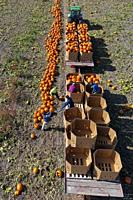 Blissfield, Michigan - An Hispanic crew harvests pumpkins on a farm in southeast Michigan.