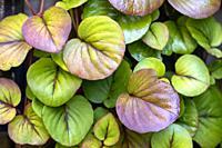Dense green leaf pattern background - Asheville, North Carolina, USA.