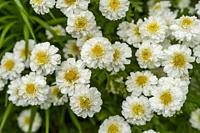 Feverfew or White Wonder (Tanacetum parthenium) flowers in a garden in Kirkland, Washington State, USA.