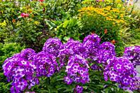 Phlox flowers in a garden in Kirkland, Washington State, USA.